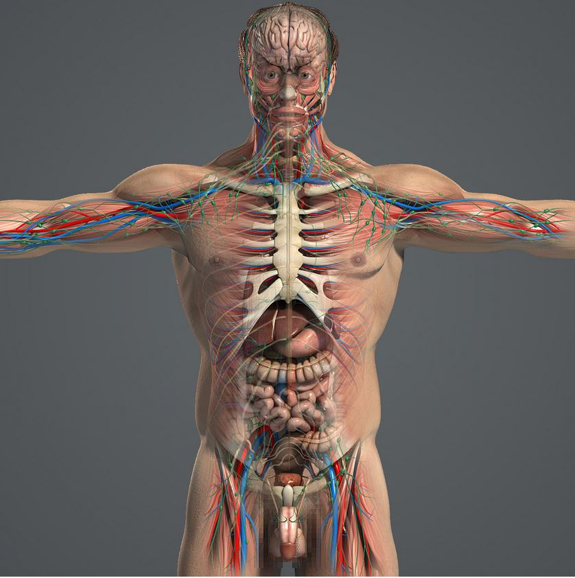 3D Rigged Anatomical Human in houdini format ?? - Animation ...