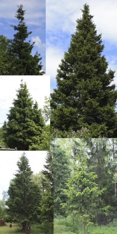 spruce_form.jpg