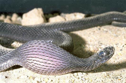 snake_eat_egg_2.jpg